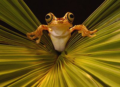 leaves, frogs, amphibians - related desktop wallpaper