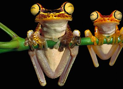 animals, frogs, amphibians, tree frogs - related desktop wallpaper