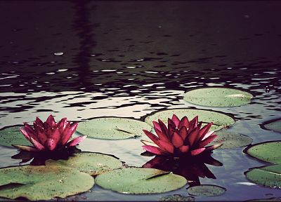 water, flowers, ponds, plants, lily pads - related desktop wallpaper