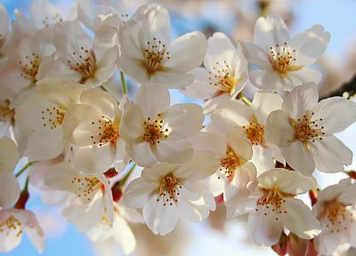 nature, flowers, white flowers - related desktop wallpaper