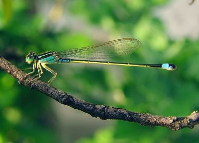 nature, insects, dragonflies - random desktop wallpaper