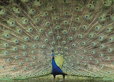 Japan, Peafowl, zoo, Indian - random desktop wallpaper