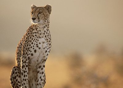 animals, cheetahs, wild cats - related desktop wallpaper