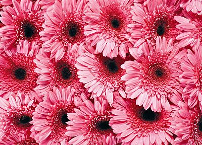 flowers, pink - random desktop wallpaper