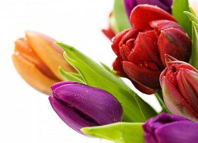 flowers, tulips, white background - desktop wallpaper