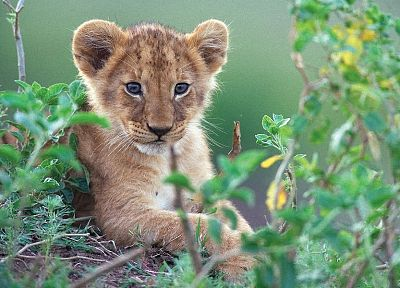 animals, cubs, feline, lions - related desktop wallpaper