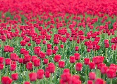 flowers, fields, tulips - random desktop wallpaper