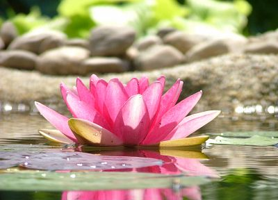 water, flowers, stones, lotus flower - desktop wallpaper