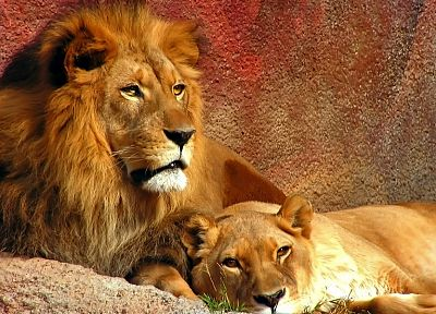 animals, couple, lions - random desktop wallpaper