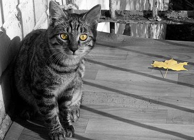 cats, animals, leaves, yellow eyes, selective coloring - desktop wallpaper