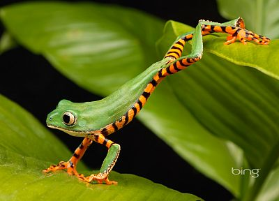 frogs, lemur, amphibians - related desktop wallpaper