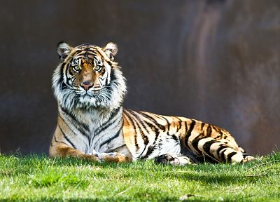 animals, tigers, grass - related desktop wallpaper