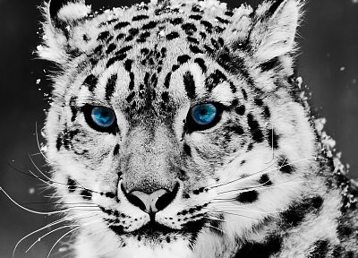blue eyes, animals, snow leopards, feline, selective coloring - random desktop wallpaper
