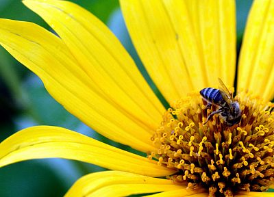 flowers, yellow, bees, yellow flowers - related desktop wallpaper