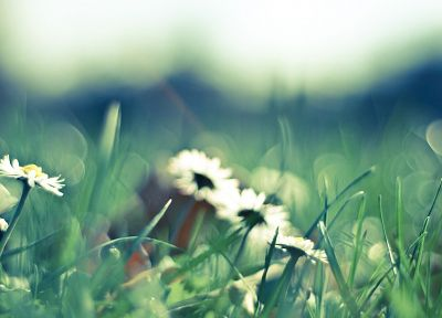 nature, flowers, grass, daisy, macro, depth of field - desktop wallpaper