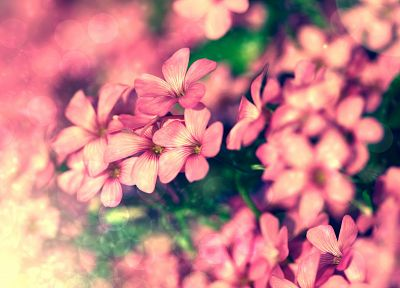 nature, flowers, pink - desktop wallpaper