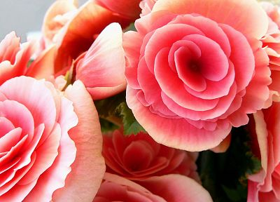 flowers, roses, pink flowers, pink roses - related desktop wallpaper