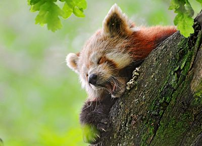 nature, animals, Firefox, red pandas - related desktop wallpaper