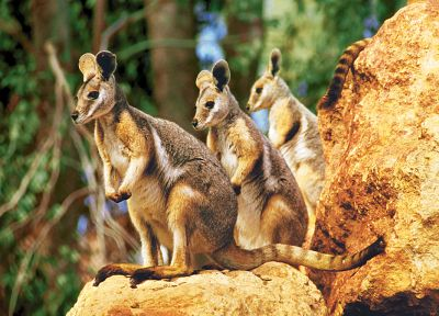 nature, animals, depth of field, baby animals, kangaroos - related desktop wallpaper