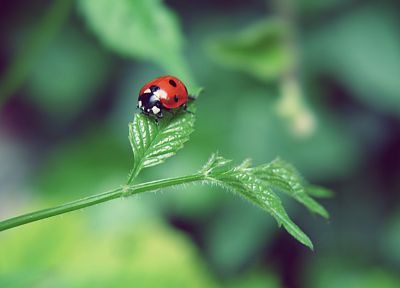 nature, leaf, insects, summer, bugs, ladybirds - related desktop wallpaper
