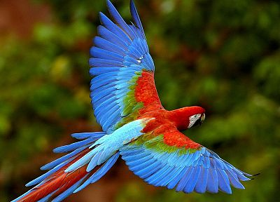 birds, parrots, Scarlet Macaws - desktop wallpaper