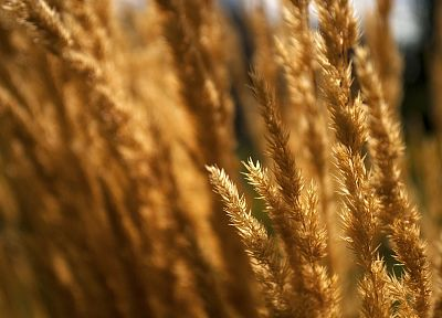 nature, wheat, plants - desktop wallpaper