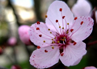 cherry blossoms, flowers, pink flowers - desktop wallpaper