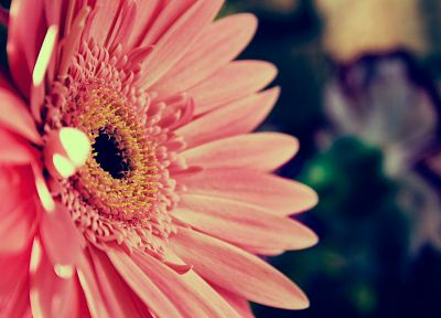 flowers, pink flowers, gerbera flower, gerber daisy - related desktop wallpaper