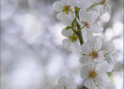 cherry blossoms, trees, flowers - random desktop wallpaper