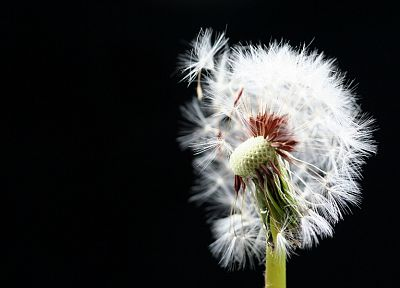 dandelions, black background - desktop wallpaper