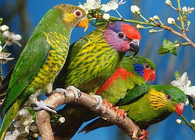 multicolor, birds, parrots - random desktop wallpaper