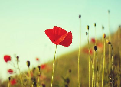 nature, flowers, poppy - desktop wallpaper