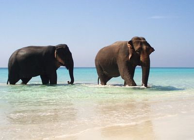 water, animals, elephants, beaches - desktop wallpaper