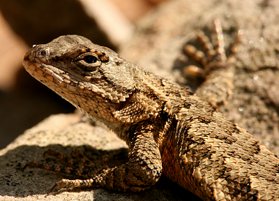 lizards, Tennessee, reptiles - random desktop wallpaper