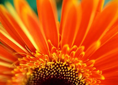 macro, orange flowers - desktop wallpaper