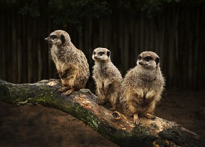 animals, meerkats, merchants - related desktop wallpaper