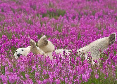 flowers, animals, polar bears, pink flowers - related desktop wallpaper