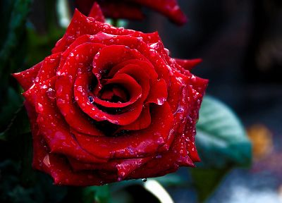 red, flowers, macro, roses - random desktop wallpaper