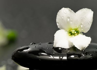 flowers, water drops, white flowers - desktop wallpaper
