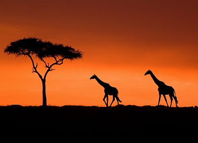 sunset, Acacia, Kenya, giraffes - random desktop wallpaper