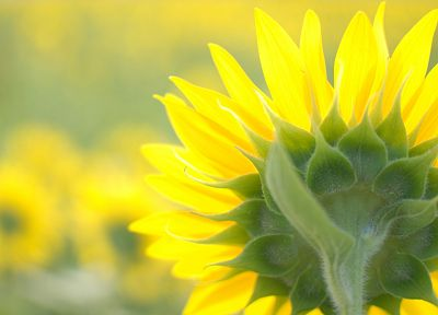 nature, flowers, yellow, sunflowers, yellow flowers - related desktop wallpaper