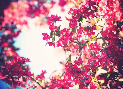 flowers, bloom, bokeh, pink flowers - desktop wallpaper