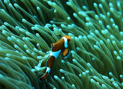 fish, clownfish, underwater, coral reef, Nemo, sea - desktop wallpaper