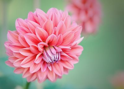 flowers, macro, dahlias, pink flowers - related desktop wallpaper