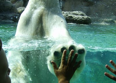 high five, polar bears - random desktop wallpaper