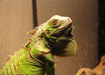 reptiles, iguana - related desktop wallpaper