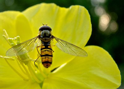 insects, fly, macro, yellow flowers - desktop wallpaper
