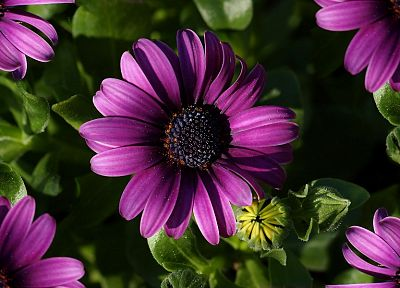 nature, flowers, daisy, purple flowers - related desktop wallpaper