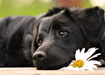black, flowers, animals, dogs, mammals - desktop wallpaper