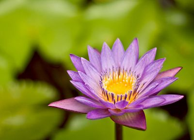flowers, lily pads, pink flowers, blurred background, water lilies - desktop wallpaper